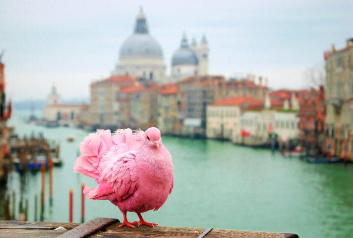 A pink dove somewhere in Italy.