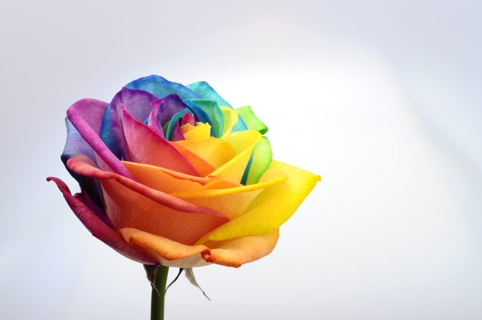 A colorful rose